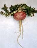 'Lepidium peruvianum'